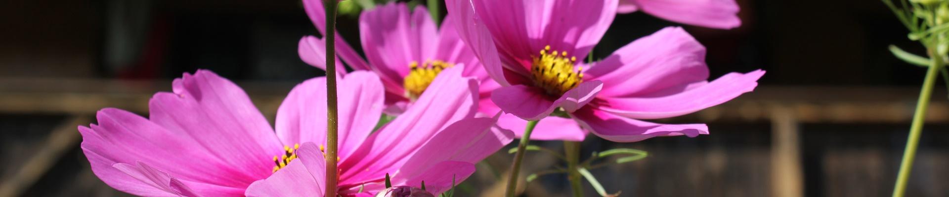Rosa-violette Blüten mit gelbem Stempel vor Hoffassade / Griesbachhof-Schwarzwald