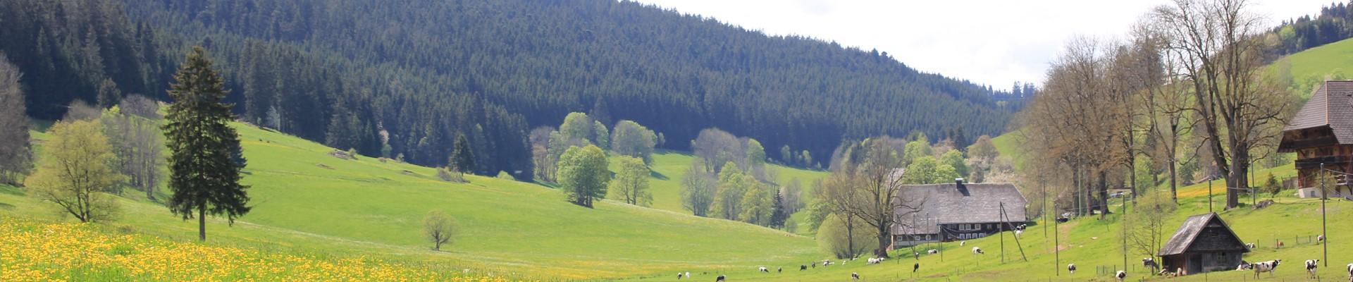 Blick in die sommerliche Schildwende mit Loewenzahnweiden / Griesbachhof-Schwarzwald