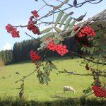 Ferienhaus Außenbereich im Sommer: Vogelbeeren und Kühe am Grasen im Hintergrund