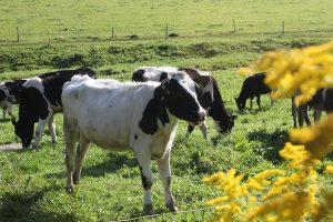 Ein Kalb auf der Weide am Hof am Muhen