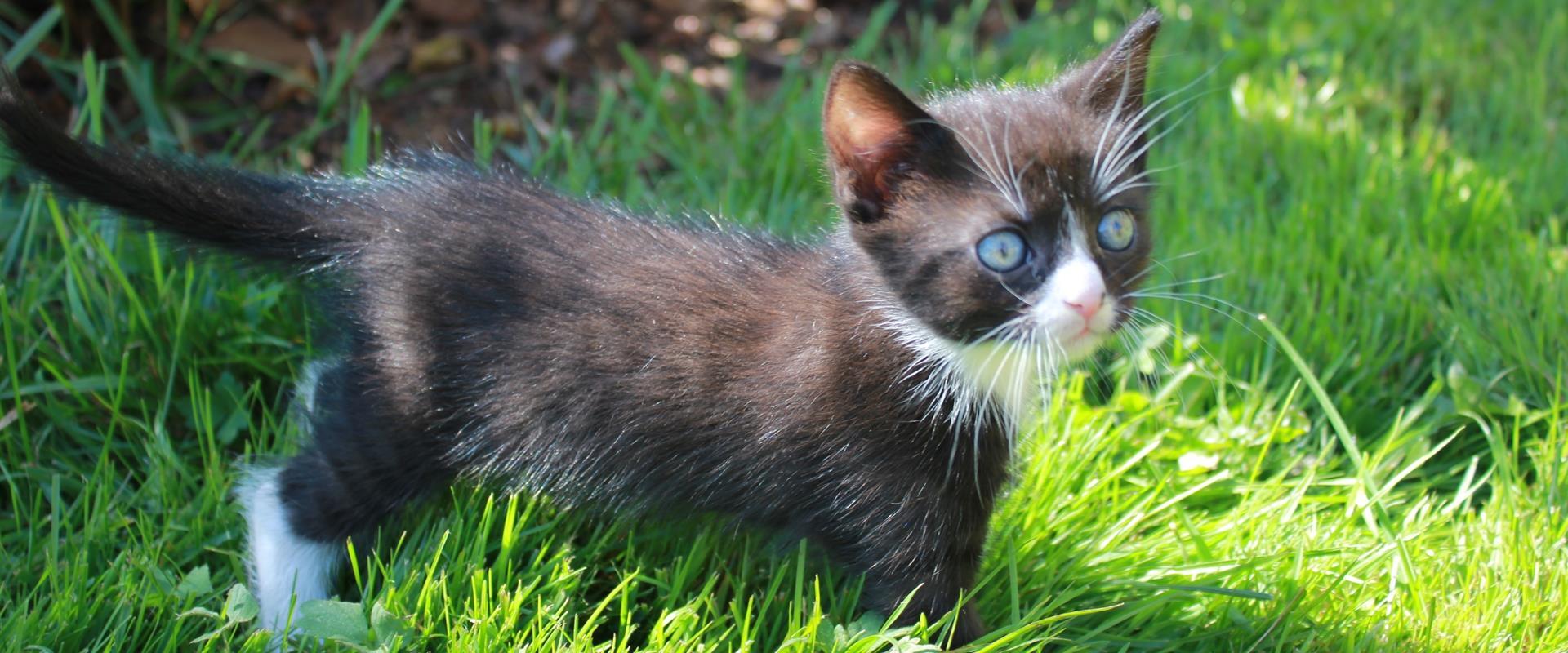 Unsere schwarz-weisse Babykatze im saftigen Gras