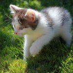 Unser weiss-graues Babykaetzchen erkundet den Rasen