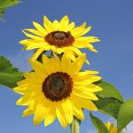 Sonnenblumen (Helianthus annuus) im Bauerngarten