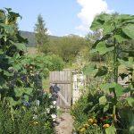 Stattliche Sonnenblumen ueberragen die Pflanzenvielfalt unseres Bauerngartens