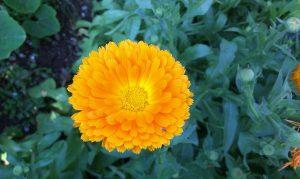 Gelbe Ringelblume (Calendula) im Blumenbeet