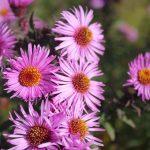 Astern-Blüten im Bauerngarten