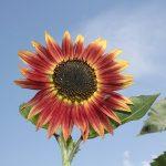 Rot-gelbe Sonnenblume (Helianthus annuus) im Bauerngarten