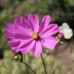 Schmuckblume (Cosmea) im Bauerngarten