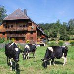 Griesbachhof: Die mächtige Südseite mit trächtigen Kühen und Hofgarten im Vordergrund