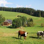 Griesbachhof: Hof und Häusle hinter neugierigem Jungvieh